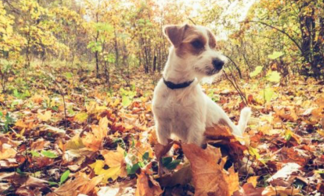 5 unexpected autumnal hazards to watch out for when caring for your dog!